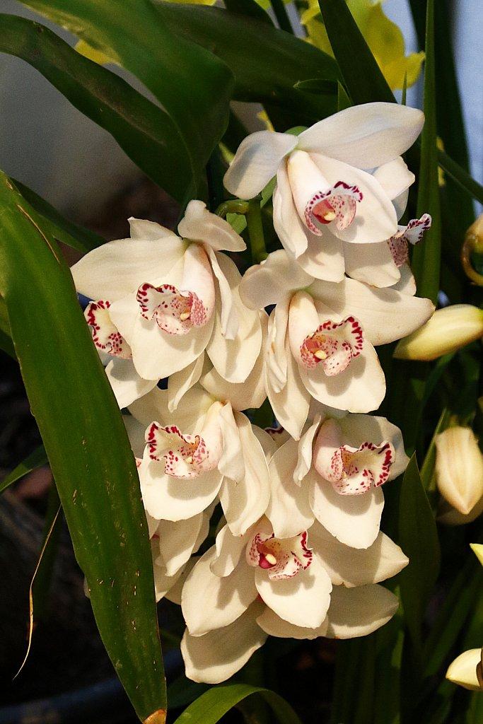 Orchideen-23.JPG